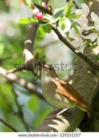 Nightingale perched in blooming tree - stock photo