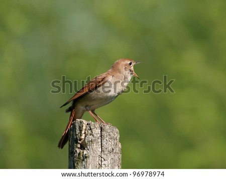 Nightingale perched on wooden stake, singing - stock photo