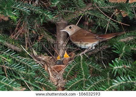 Nightingale small bird nest and chicks in springtime - stock photo