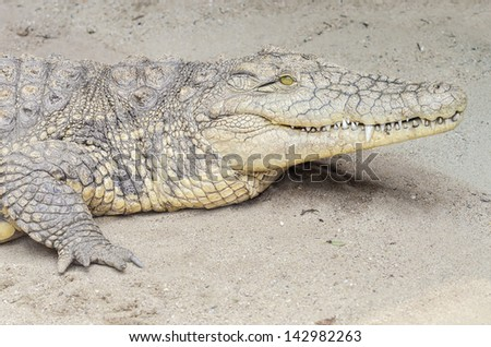 Nile Crocodile - stock photo