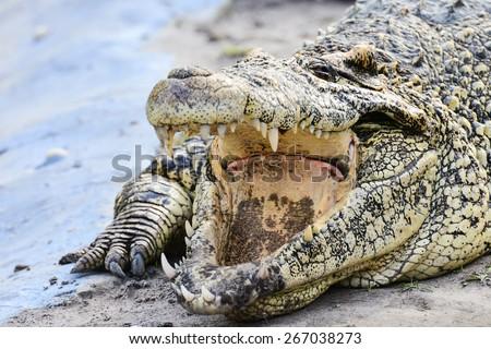 Nile crocodile close-up - stock photo