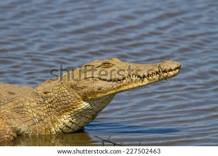 Nile Crocodile on the River Bank - stock photo