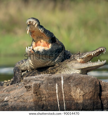 Nile crocodile. Two crocodiles , saving opened from a heat to graze, sit on one big stone in the middle of sources of Nile. - stock photo