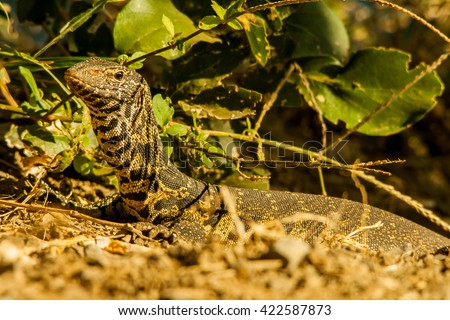Nile Monitor - stock photo