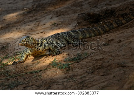 Nile Monitor - Varanus niloticus, Tsavo East, Kenya - stock photo