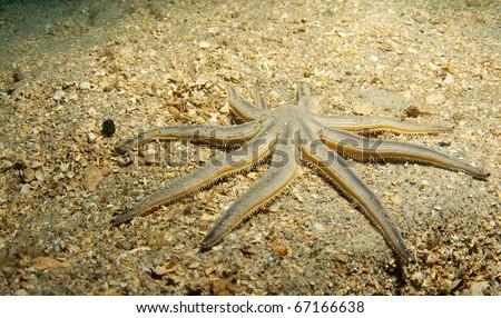 Nine-armed Sea Star-Luidia senegalensis, picture taken under the Blue Heron Bridge in the intercoastal waterway of Palm Beach County, Florida. - stock photo