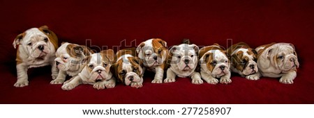 Nine English Bulldogs, 2 months old over red background. - stock photo