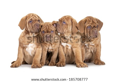 Nine month old French Mastiff breed puppies isolated on white background  - stock photo