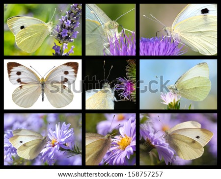 Nine mosaic photos of Large White butterfly - stock photo