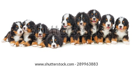 Nine puppies Bernese mountain dog in studio on a white background - stock photo