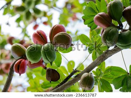 Noble bottle tree - stock photo