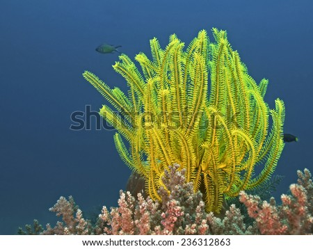 Noble feather star, Edel-Haarstern (Comanthina nobilis) - stock photo