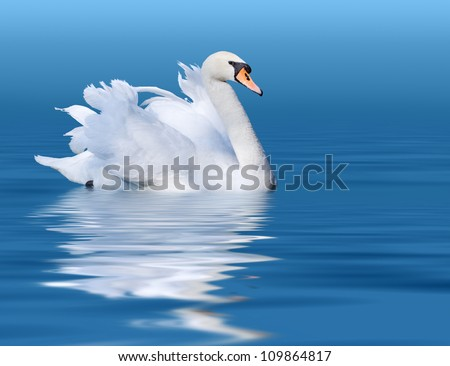 Noble swan with reflection in the blue water - stock photo
