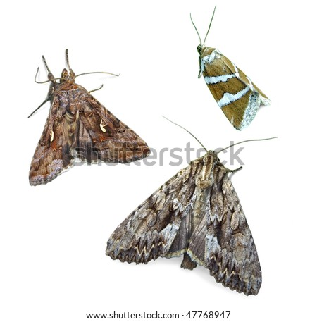 Noctuid moths - stock photo