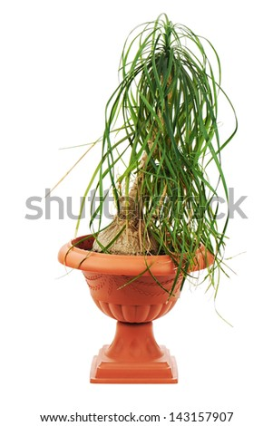 Nolina (Beaucarnea recurvata) in a flower pot isolated on white background. - stock photo