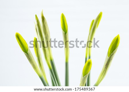 Non full-blown green pretty daffodil stems on white isolated background - stock photo