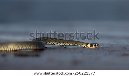 Non venomous grass snake also called ring snake (natrix natrix). Crawling on a pear where it lives. Coast of Baltic sea, sunset. Side view, with tongue out. - stock photo
