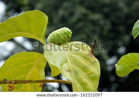 noni fruit (Morinda citrifolia) - stock photo