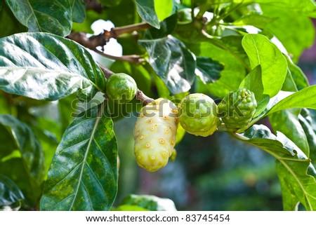 Noni fruit on the tree - stock photo