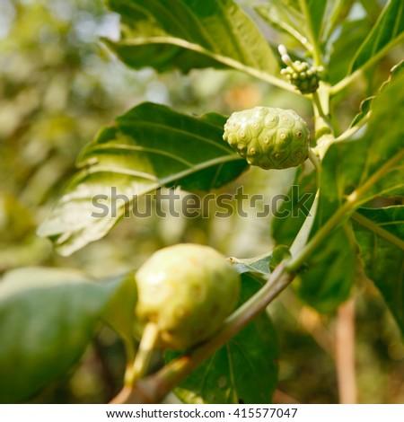 Noni or Morinda citrifolia fruit on tree. - stock photo