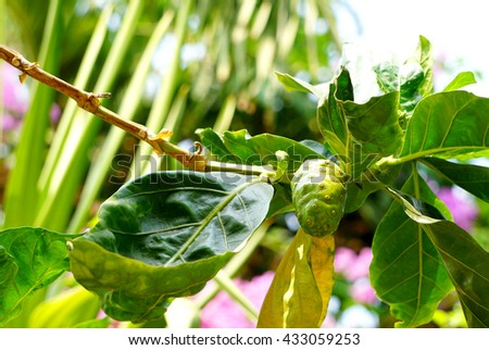 Noni or Morinda citrifolia, great morinda, Indian mulberry, beach mulberry, or cheese fruit on tree - stock photo
