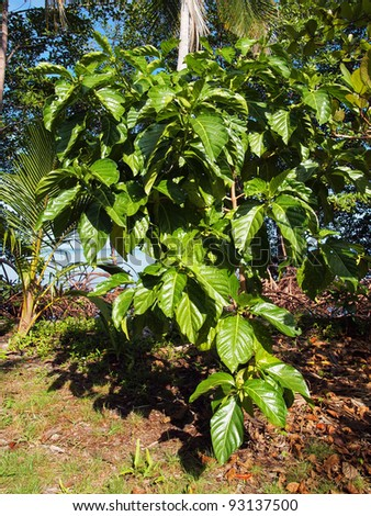 Noni tree Morinda Citrifolia, Caribbean, Costa Rica - stock photo