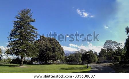 Norfolk Island Pine and Moreton Bay Fig Tree, Camarillo, Ventura county, California - stock photo