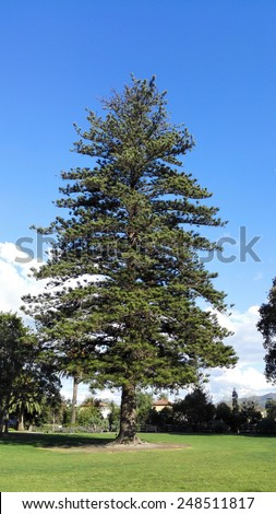 Norfolk Island Pine Tree, a large evergreen coniferous tree, Camarillo Ranch in Southern California - stock photo