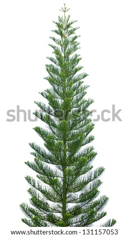 Norfolk pine tree isolated on a white background - stock photo