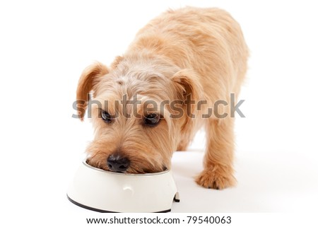 Norfolk terrier dog eating food - stock photo
