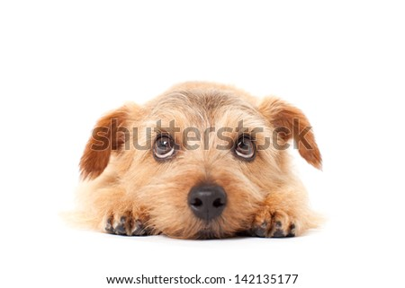 Norfolk terrier dog looking up, isolated on white background - stock photo
