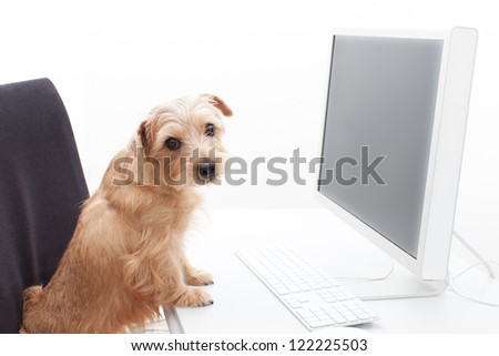 Norfolk terrier dog working on computer, isolated on white background - stock photo