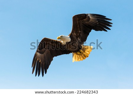 North American Bald Eagle in mid flight, hunting for food along river waters and wilderness trees - stock photo