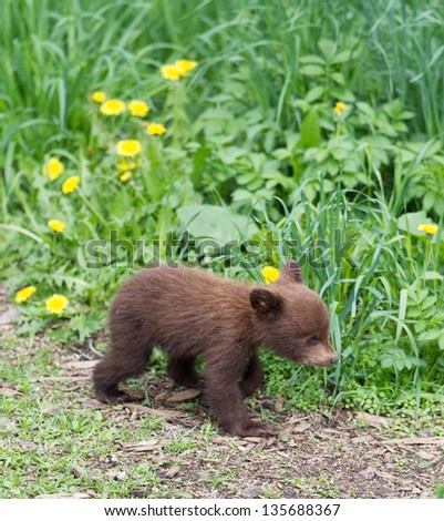 North American Black Bear cubs - stock photo