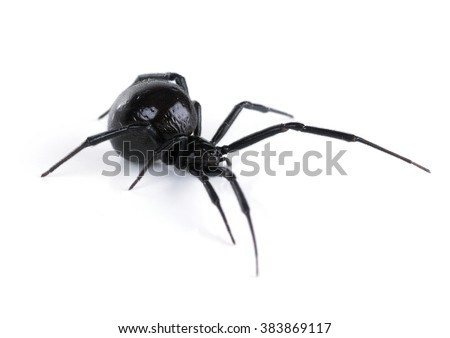 North American black widows spider, side view. Isolated on white background - stock photo