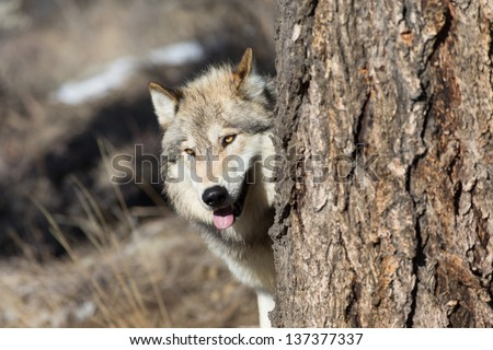 North American Grey Wolves in winter scene - stock photo