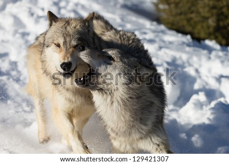 North American Grey Wolves running in snow - stock photo