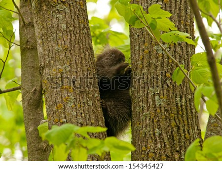 North American porcupine climbing up a tree trunk in the woods  - stock photo