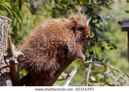 North American Porcupine, Erethizon dorsatum - stock photo