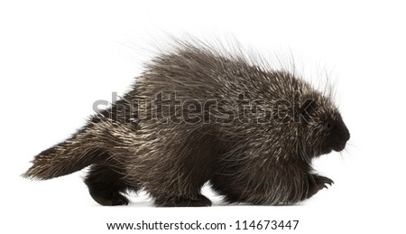 North American Porcupine, Erethizon dorsatum, also known as Canadian Porcupine or Common Porcupine walking against white background - stock photo