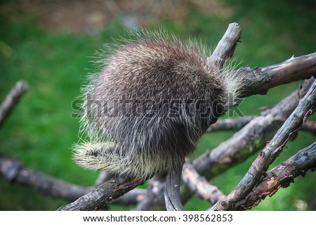 North American Porcupine, Erethizon dorsatum, also known as Canadian Porcupine or Common Porcupine sleeping on the tree in Prague Zoo - stock photo