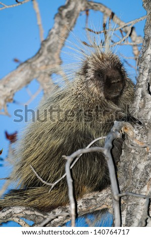 North American porcupine in a tree top at dusk, Alberta Canada - stock photo