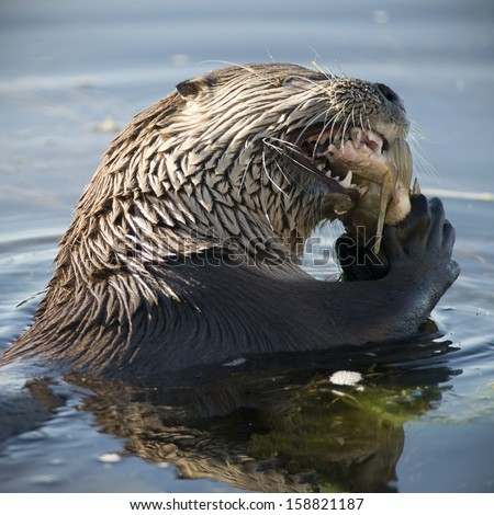 north american river otter eating a carp - stock photo