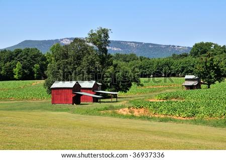 North Carolina Tobacco Farm in Summer Horizontal - stock photo