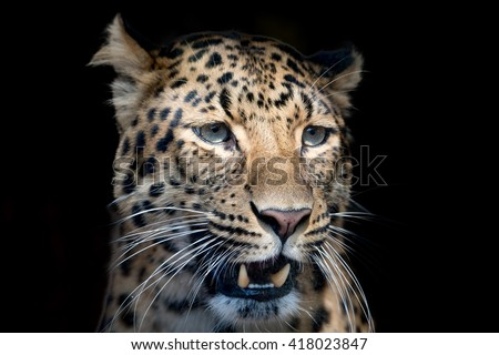 north chinese leopard close up portrait while looking at you - stock photo