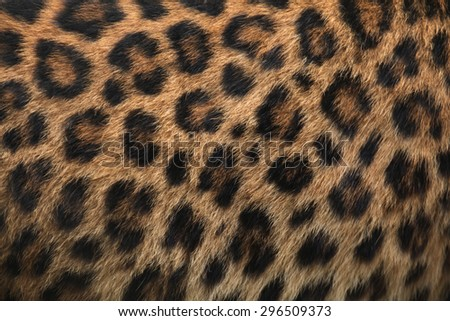 North-Chinese leopard (Panthera pardus japonensis) fur texture. Wildlife animal.  - stock photo