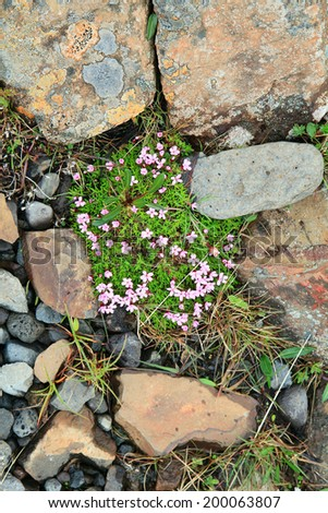 North flowers and lava stones background. Iceland. - stock photo