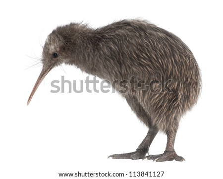 North Island Brown Kiwi, Apteryx mantelli, 5 months old, standing against white background - stock photo
