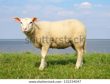 North Sea Sheep - stock photo