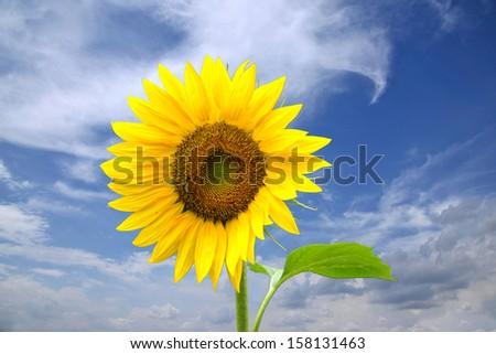 North Sunflower - stock photo